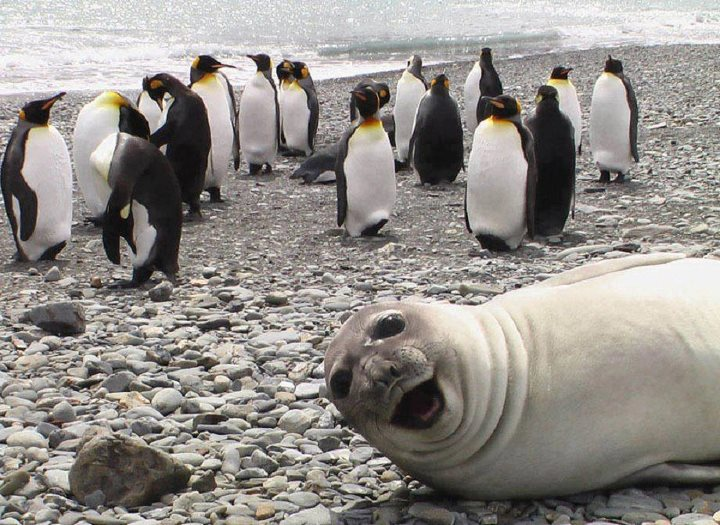 This seal loves selfies with his penguin friends