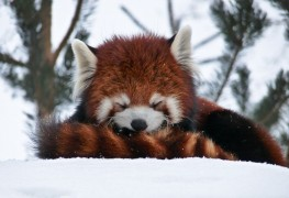 13. Red pandas use their tail as a blanket to stay warm