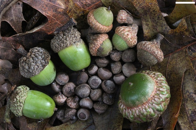7. Great Britain believed that carrying an acorn with yourself will keep you forever young