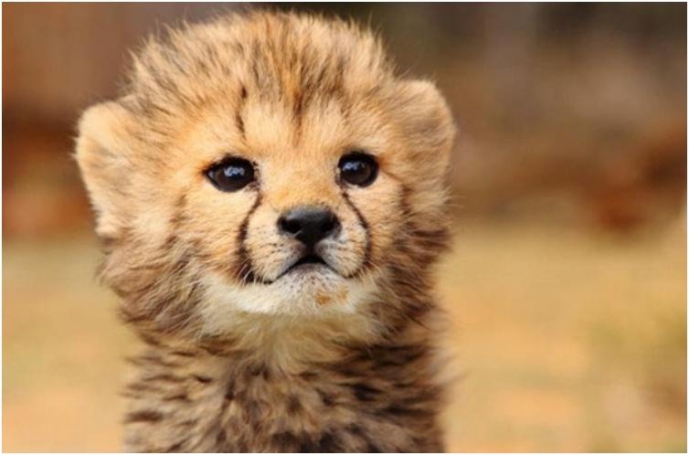 Baby-Cheetah