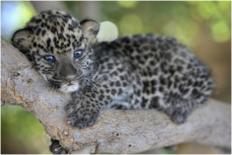 Baby-Leopard