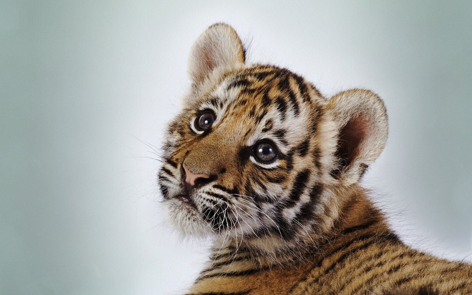 baby animals cute wild too sloth animal cutest tiger cuteness wallpapers adorable really tigers wildlife funny sweet hd tigar friends