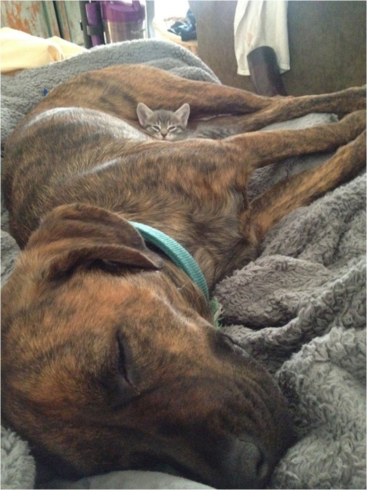 cute-cats-sleeping-on-dogs-17__605